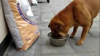 Shar Pei From Kennel Meatmouth Eat Pet Food From Symply Pet Foods.mov