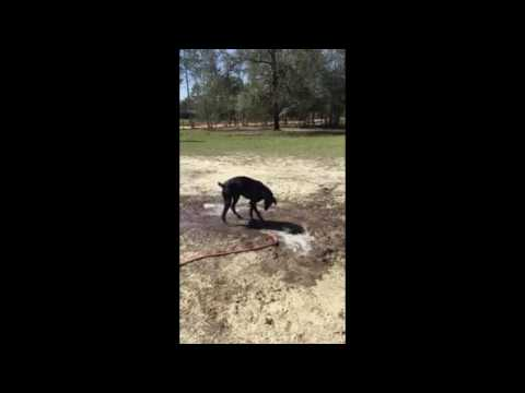 Cute Dog Playing With Mud and Water Doberman Pinscher Fun