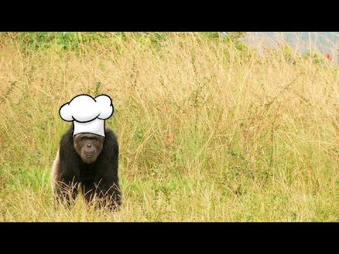 The Evolution Of Cooking: Studying Chimpanzee Cognition