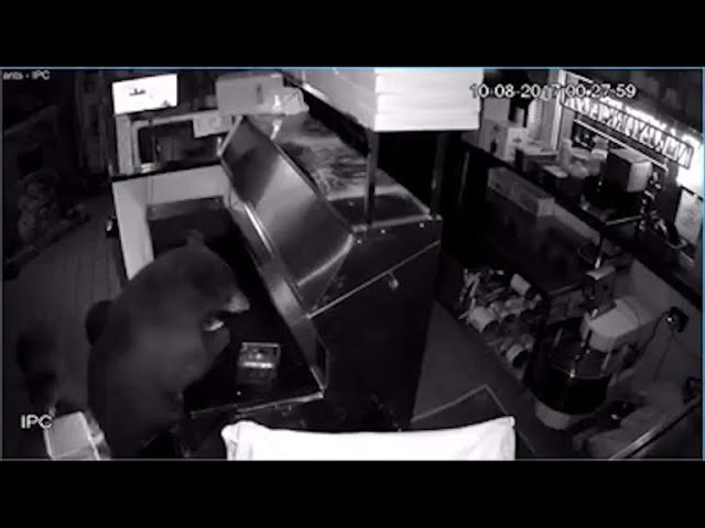 black-bears-break-into-colorado-pizzeria