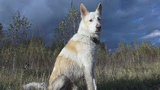 Фотогеничная охотничья собака Лайка Photogenic Kid-skin dog