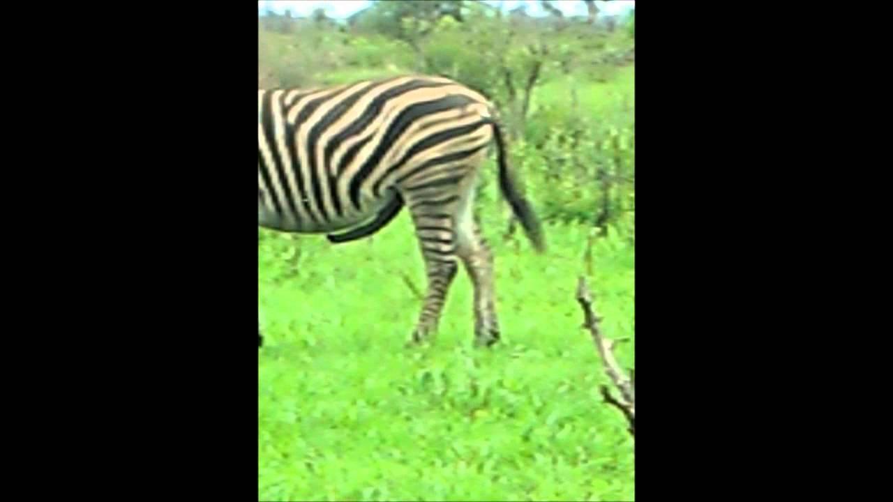 Zebra Erect Penis  Zebras Stijve - Youtube