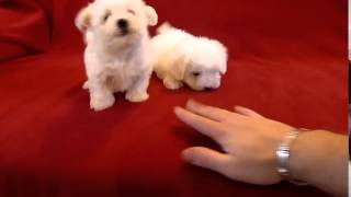 Щенки болонки - самые страшные и ужасные собаки на свете!