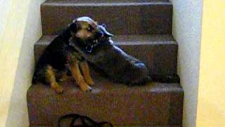 Border Terrier And Kitten