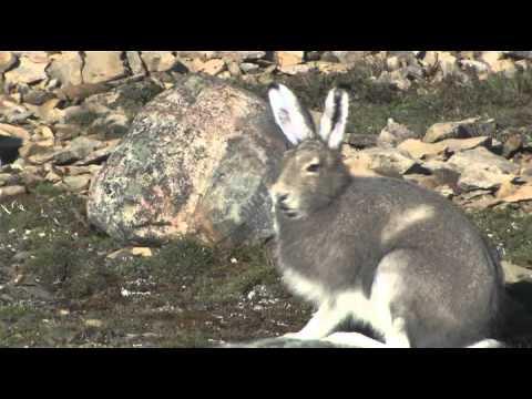 Nunavut Wildlife