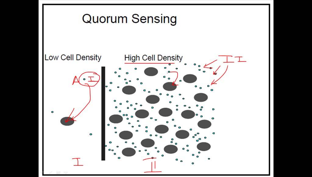What is quorum sensing?