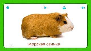 Морская Свинка - Карточки Для Детей - Домашние Животные - Карточки Домана