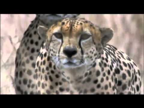 Amazing Cheetah Chase Compilation