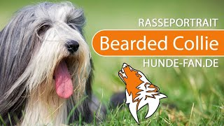 Bearded Collie [2018] Breed, Appearance & Character