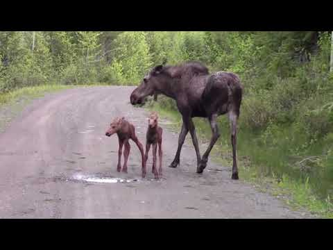 Moose Attacks pickup truck