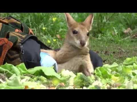 Monti, das kleine Kängurubaby aus dem Tierpark Berlin   05 08 2015