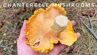 Chanterelle Mushroom Hunt - Pacific Northwest | Our BEST Season Yet!