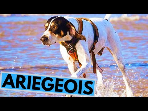 Ariegois Dog Breed  Facts and Information