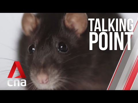 CNA | Talking Point | E02 - Is Singapore facing an impending rat outbreak?