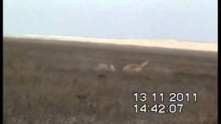 Охота с Русскими псовыми борзыми в Калмыкии (продолжение)