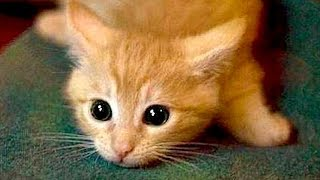 Are ORANGE CATS the FUNNIEST CATS?  Super FUNNY COMPILATION that will make you DIE LAUGHING