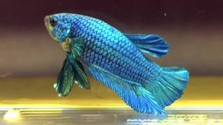 Ikan Cupang (The Best collection Betta Fish)
