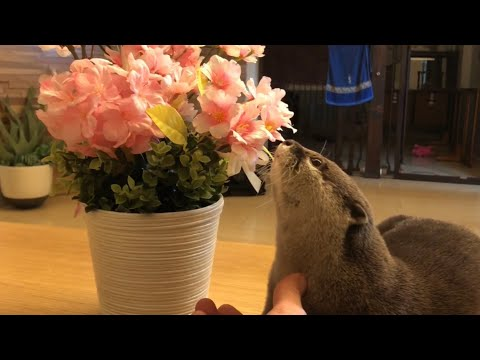 Otter sakura and cherry blossoms in full bloom from YouTube · Duration:  4 minutes 5 seconds
