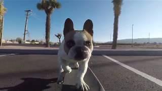 Frenchie skateboarding