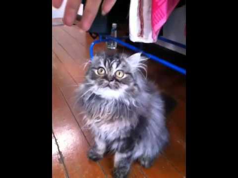 แมวเปอร์เซียอายุ4เดือน ซนมาก!!!