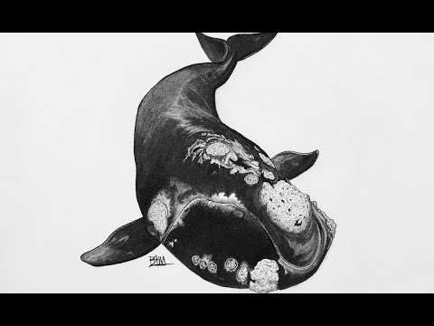 DRAWING the North Atlantic Right Whale