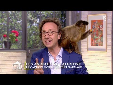 [ANIMAUX] Le capucin, intelligent et sauvage