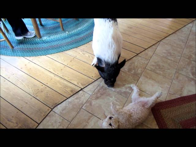 Potbelly Pig loves up on her Older Brother