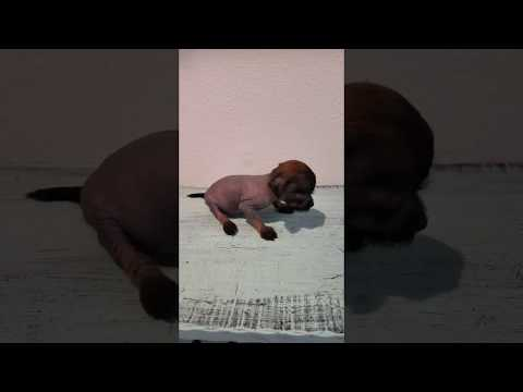 AKC Tiny Female Hairless Chinese Crested Puppy