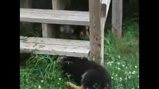 German Shepherd Puppies For Sale In Oklahoma