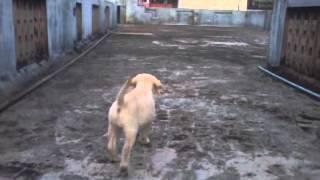 2 Mounth Old Labrador Puppy Training By Arun Kumar Chennai
