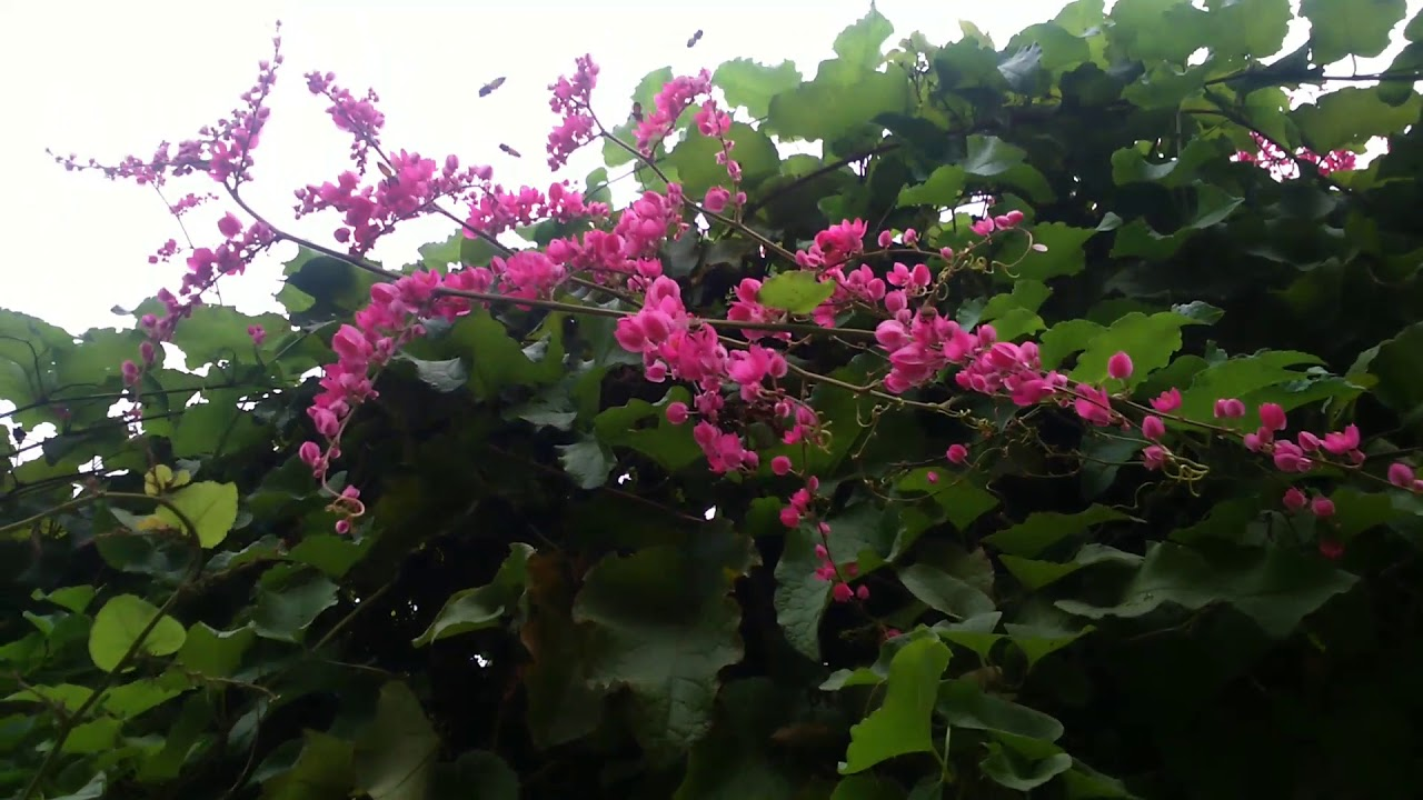 Cantikny Bunga Ampair Mata Pengantin Youtube