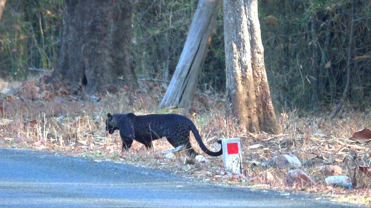 Rare Indian Black Leopard sighted at Tadoba, Filmed by Nandita