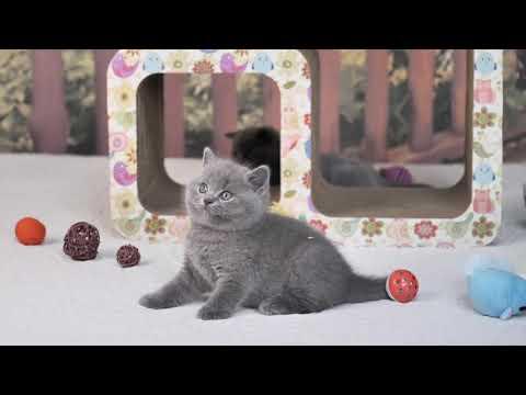 Британский котик Людовик в возрасте 6 недель