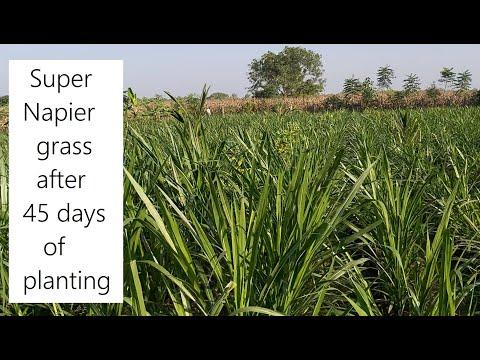 Pakchong 1 Super Napier farm after 45 days of planting / How to Fertilize and Irrigate Super Napier