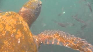 Ctenophores and Galapagos Turtles