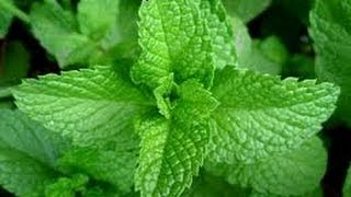 Mint Herb: Mint Tea Benefits Mint, the well-known mouth and breath ...