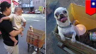 """Asian Dog Eating: Lost Chihuahua Dog """"tastes Good"""" Found And Not Eaten"""