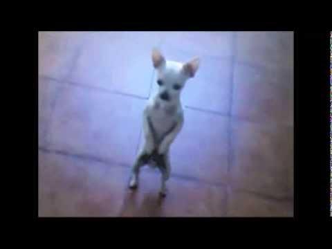 Chihuahua Mueve la Pom Pom Pa