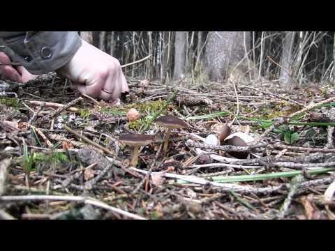 Ранневесенние съедобные грибы. Часть 2. Стробилюрус