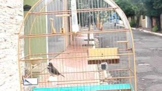 Coleiro Magníficus de Barra Bonita - 3ª Nota - Vídeo 3
