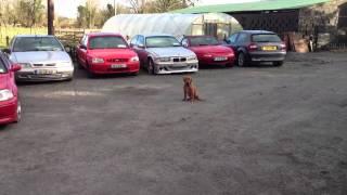 Dogue De Bordeaux At 4 Months Guarding