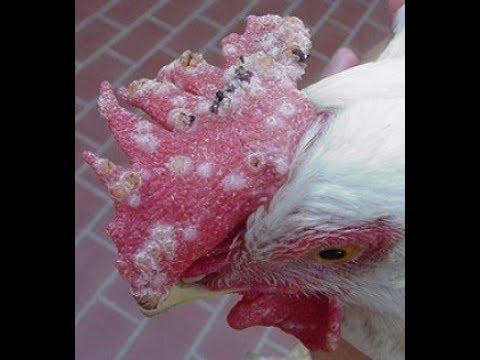 Trị bệnh nấm mốc trắng cho gà chọi | Ánh Dương HCMC