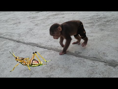 Baby Monkey | Doo And Cat Miu Play With The Locust So Cute