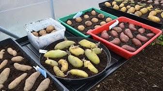 Att rota potatis innan plantering