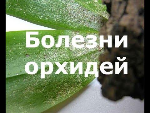 Белые пятна на листьях орхидей. Болезни орхидей. Методы борьбы