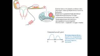 6  Анатомия матки и яичников в различные фазы менструального цикла видеопрезентация