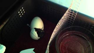 Gosling Hatching in Homeade Incubator