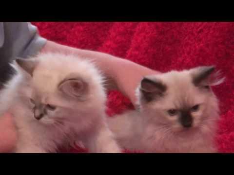 Blues, Seals, Bi-colors, Lynx, Chocolate, Lilac  Ragdoll Kittens for Adoption October 9 2016