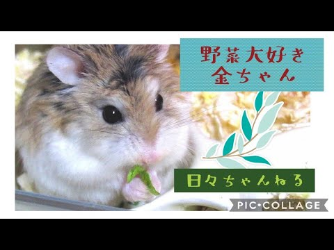 野菜大好き♡金ちゃん【ロボロフスキーハムスター】 roborovski Hamster