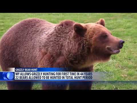 Wyoming to allow grizzly hunting near Yellowstone Park